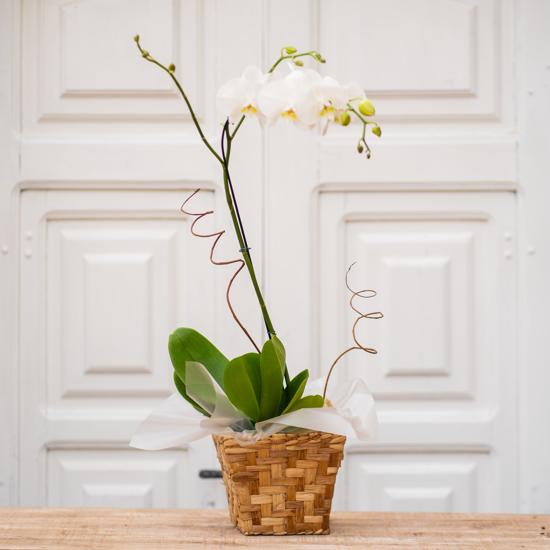 Imagem de Orquídea Phalaenopsis
